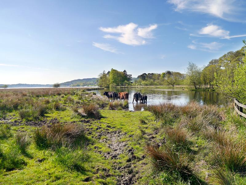 As vacas que relaxam em águas afiam imagens de stock