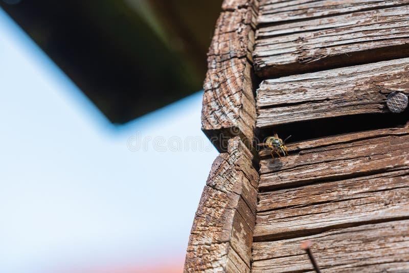 As vespas voam em seu ninho atrás dos painéis de madeira velhos foto de stock