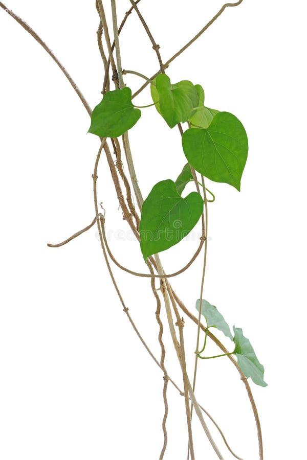 As videiras de escalada selvagens, liana com verde coração-dado forma saem do isolat fotos de stock royalty free