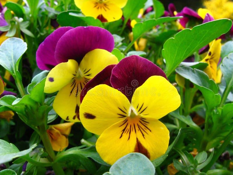 As violetas são? fotografia de stock royalty free