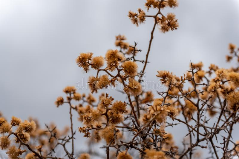 Amber plant with bristles. As winter nears spring and the clouds thicken, the amber leaves and bristle branches come alive with these fluffy orange flowers on a royalty free stock photo