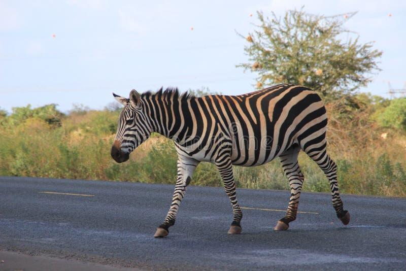 As zebras cruzam a estrada no parque nacional de Tsavo kenya fotos de stock