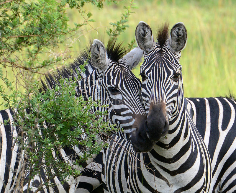 As zebras de Burchell estão junto nas planícies de Uganda foto de stock royalty free