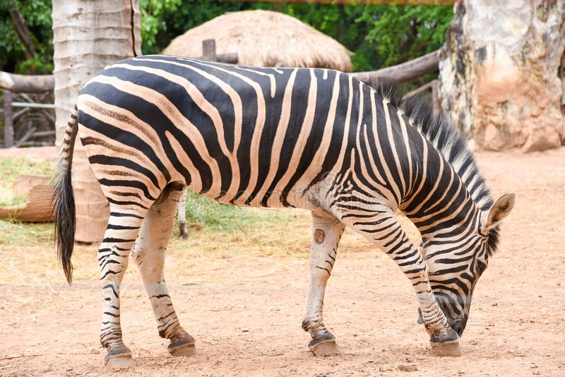 As zebras no jardim zoológico jardinam em Banguecoque em Tailândia imagem de stock royalty free