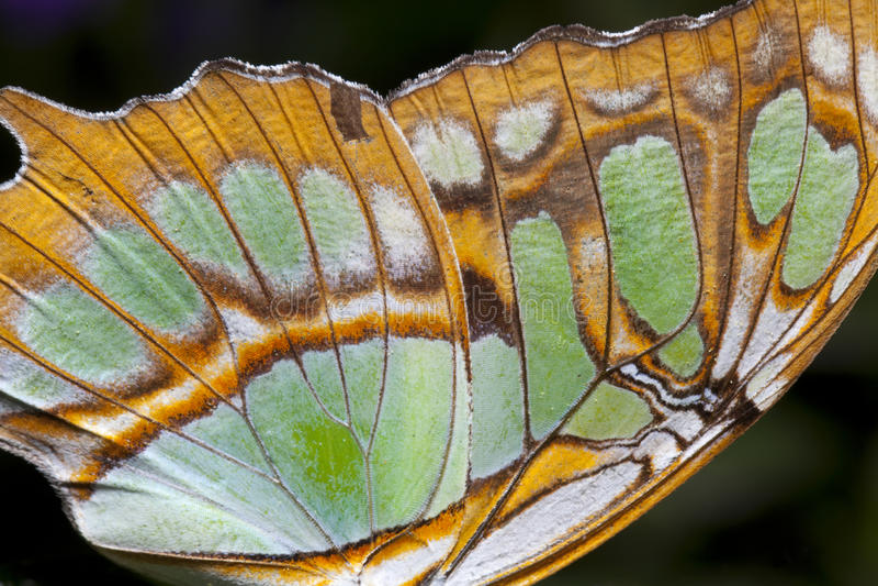 Asa da borboleta (close up) foto de stock