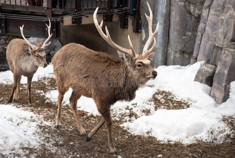 Asahikawa Hokkaido, Japan MARSCHERAR 13 2019: Sika hjortar i den Asahiyama zoo royaltyfri fotografi