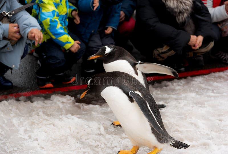 Asahikawastad, Hokkaido, Japan 13 MAART, 2019: De parade van pinguïnen terwijl het lopen door de sneeuw bij Asahiyama-Dierentuin, royalty-vrije stock foto