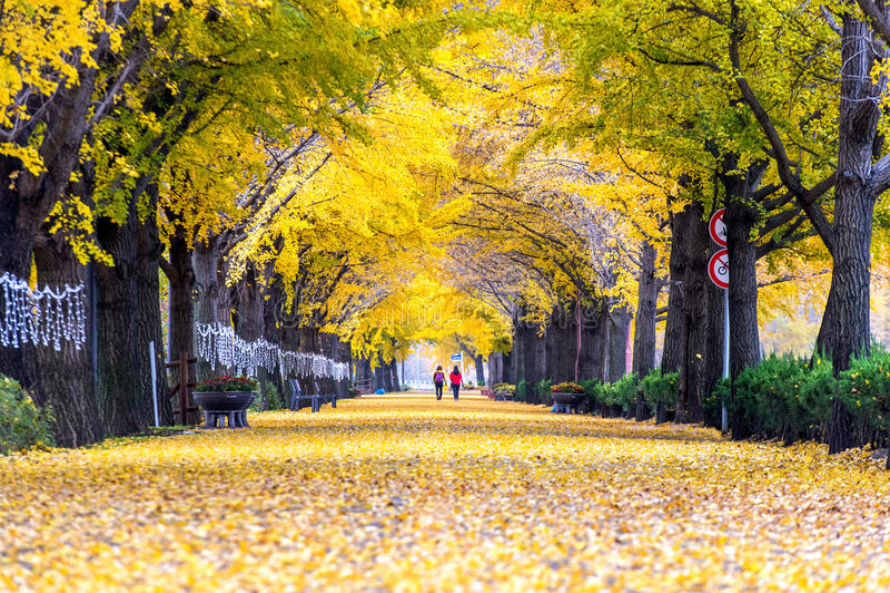 ASAN, COREIA - 9 DE NOVEMBRO: Fileira de árvores e de turistas amarelos da nogueira-do-Japão fotografia de stock royalty free