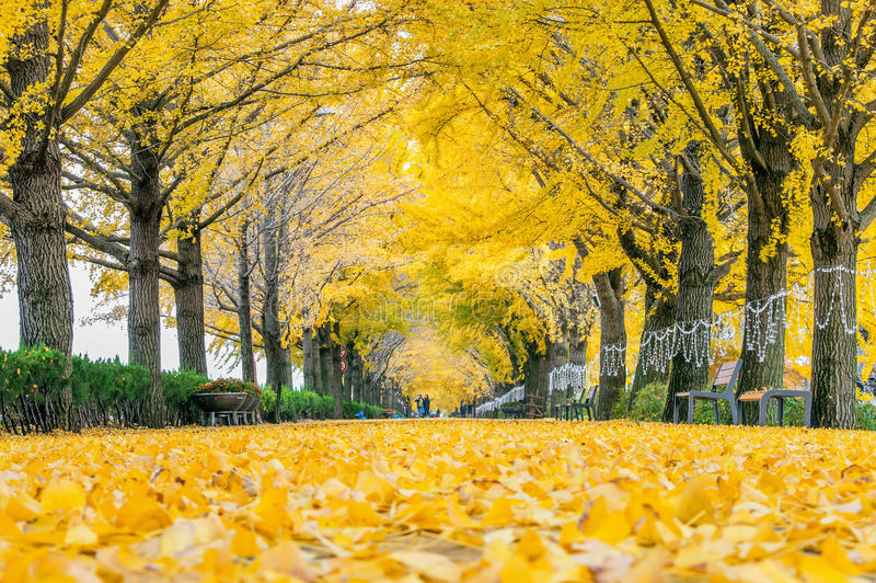 ASAN,KOREA - NOVEMBER 9: Row of yellow ginkgo trees and Tourists. stock photo