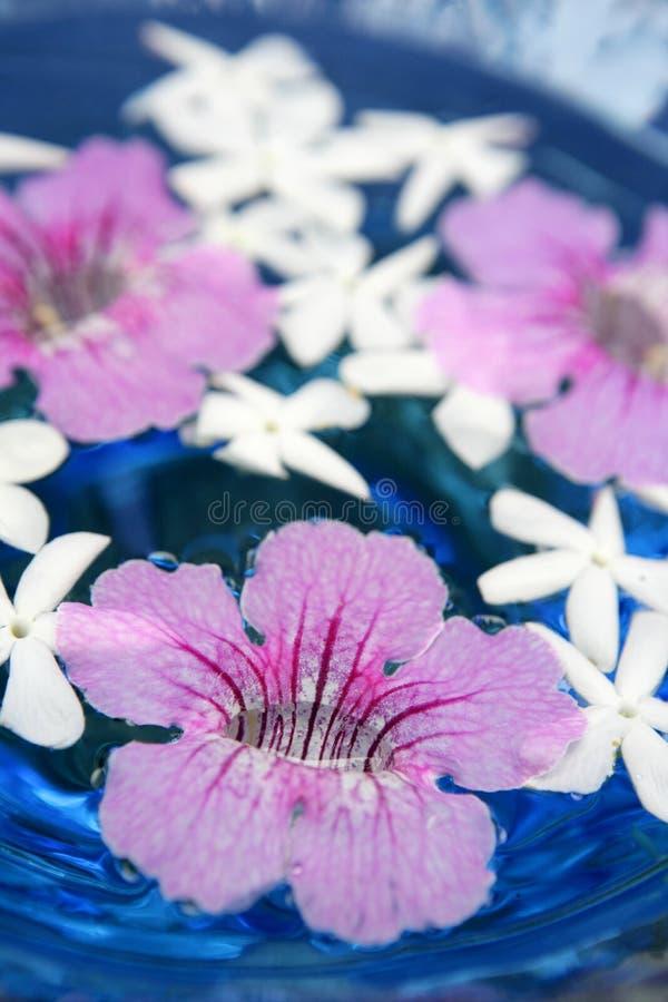 asarina błękitny świeczek jaśminu menchii woda zdjęcia stock