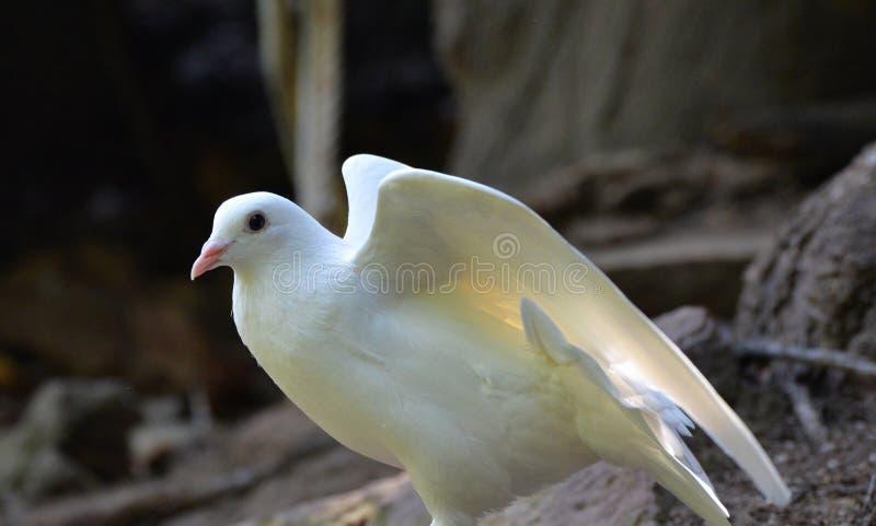 Asas da mostra da pomba do branco fotografia de stock
