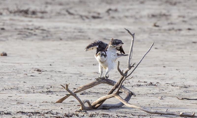 Asas do flapping da águia pescadora foto de stock royalty free