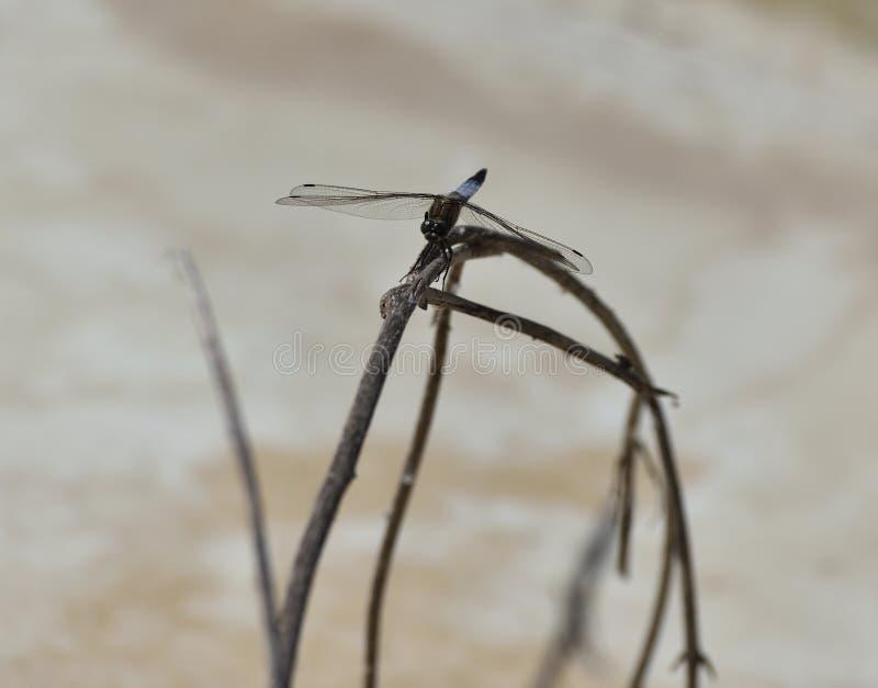 Asas transparentes da planta azul da haste da libélula com nervos definidos imagem de stock