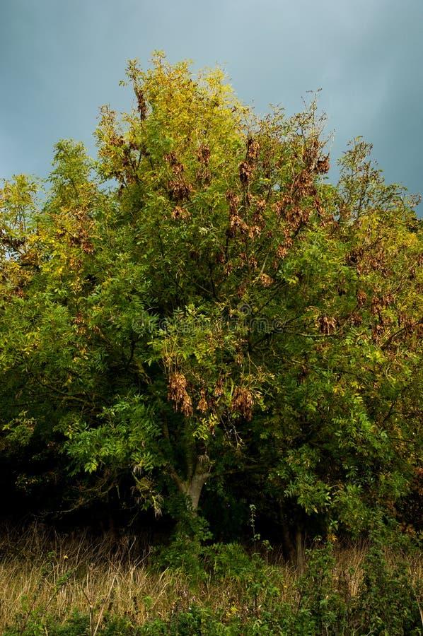 Asboom en stormachtige hemel stock afbeelding