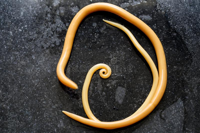Ascariasis is a disease caused by the parasitic roundworm Ascaris lumbricoides for education. Ascariasis is a disease caused by the parasitic roundworm Ascaris royalty free stock photo