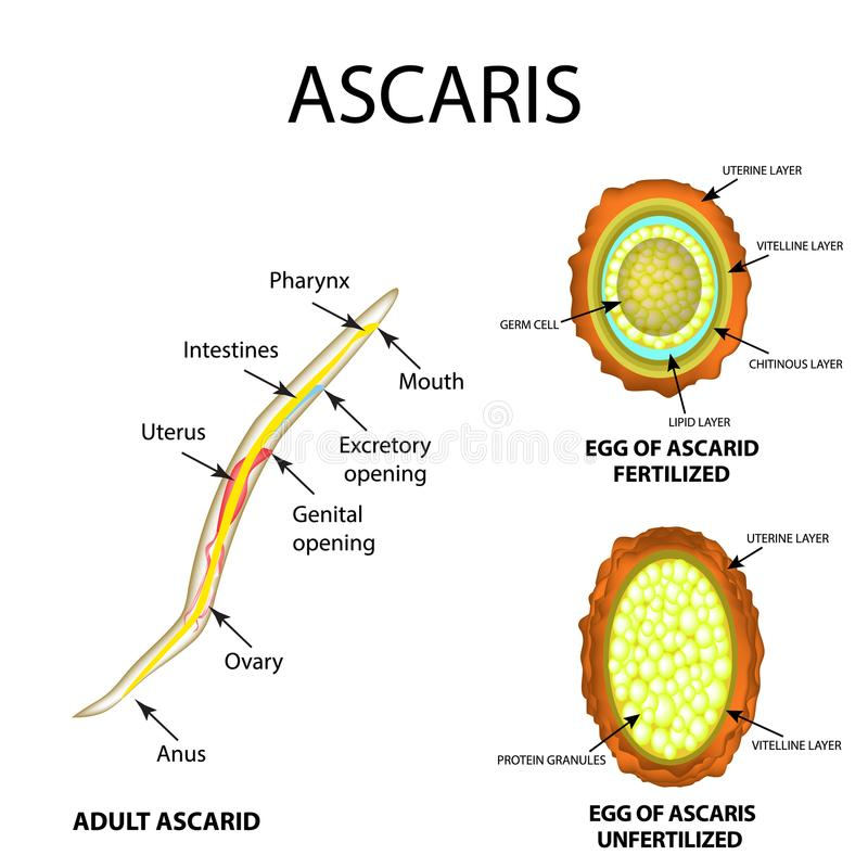 Ascaris the structure of an adult. Fertilized and unfertilized egg. The structure of the egg ascarids. Set. Infographics. Vector. Illustration on isolated vector illustration