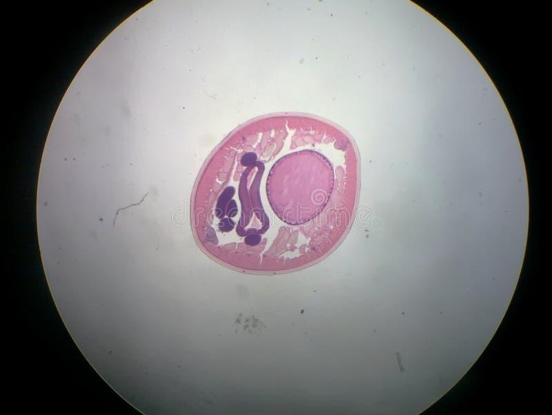 ascarismanligroundworm royaltyfri fotografi