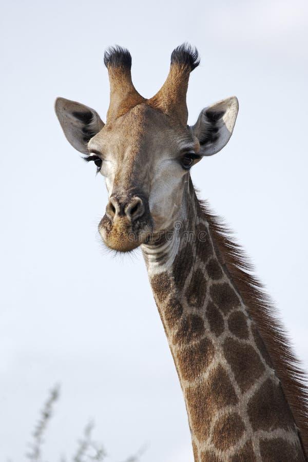 Ascendente cercano de la jirafa foto de archivo
