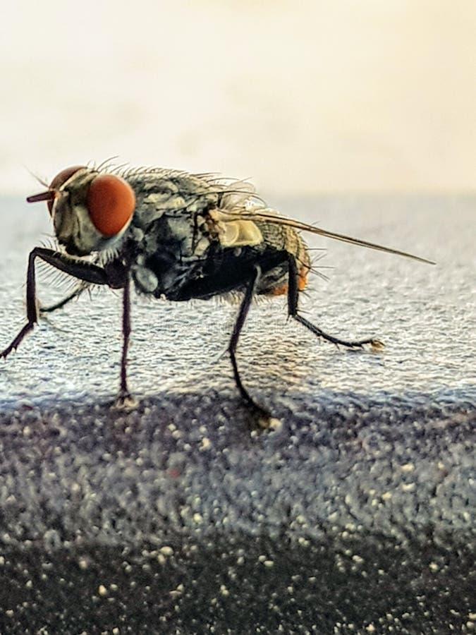 Ascendente cercano de la mosca foto de archivo