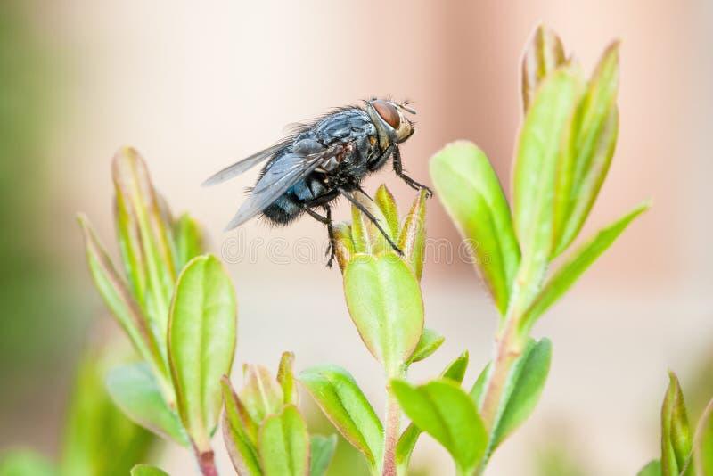 Ascendente cercano de la mosca, macro del insecto bluebottle imagenes de archivo