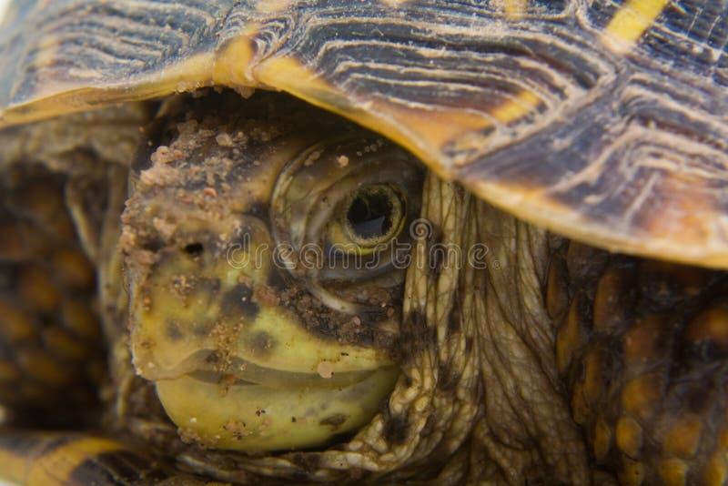 Ascendente cercano de la tortuga imagen de archivo