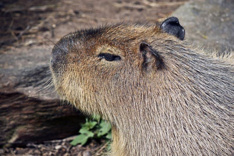 Ascendente cercano del Capybara fotografía de archivo