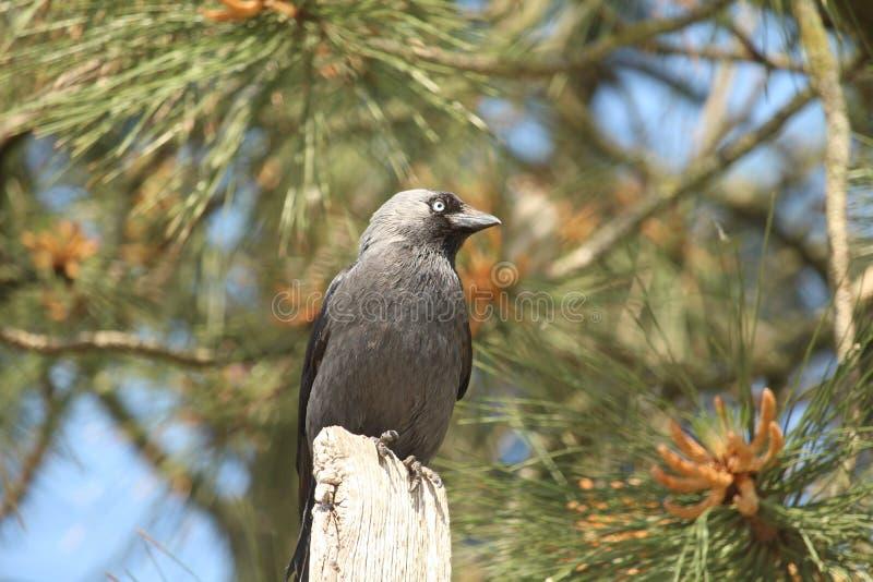 Ascendente cercano del cuervo imagen de archivo