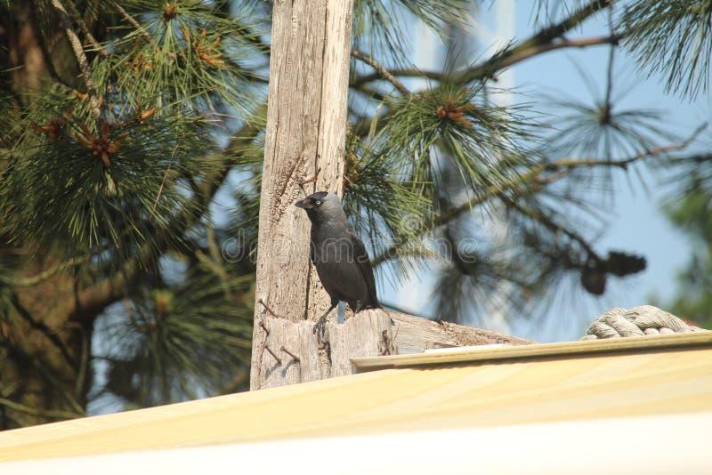 Ascendente cercano del cuervo foto de archivo