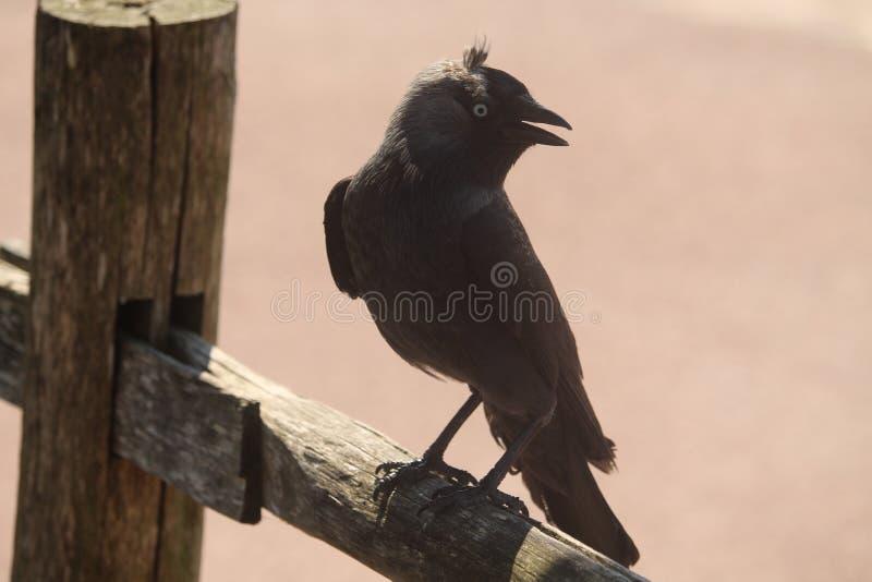 Ascendente cercano del cuervo fotografía de archivo libre de regalías