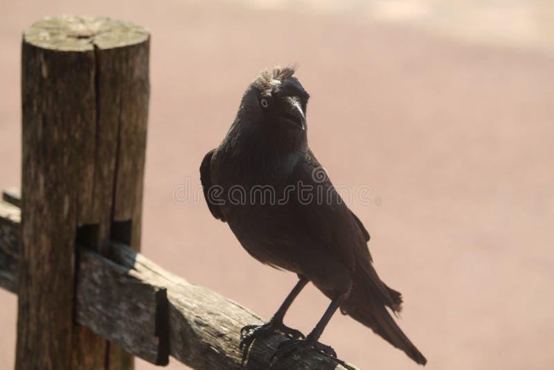 Ascendente cercano del cuervo fotos de archivo