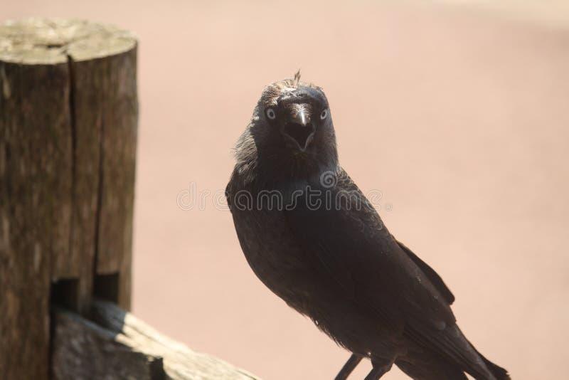 Ascendente cercano del cuervo foto de archivo libre de regalías