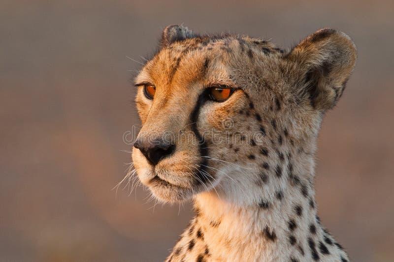 Ascendente cercano del guepardo imagen de archivo
