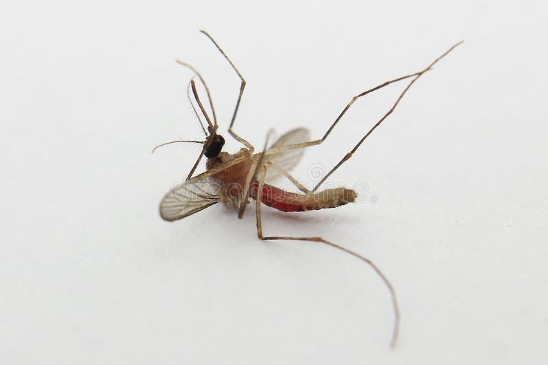 Ascendente cercano del mosquito imagen de archivo libre de regalías