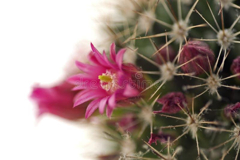 Ascendente cercano floreciente del cacto imagenes de archivo