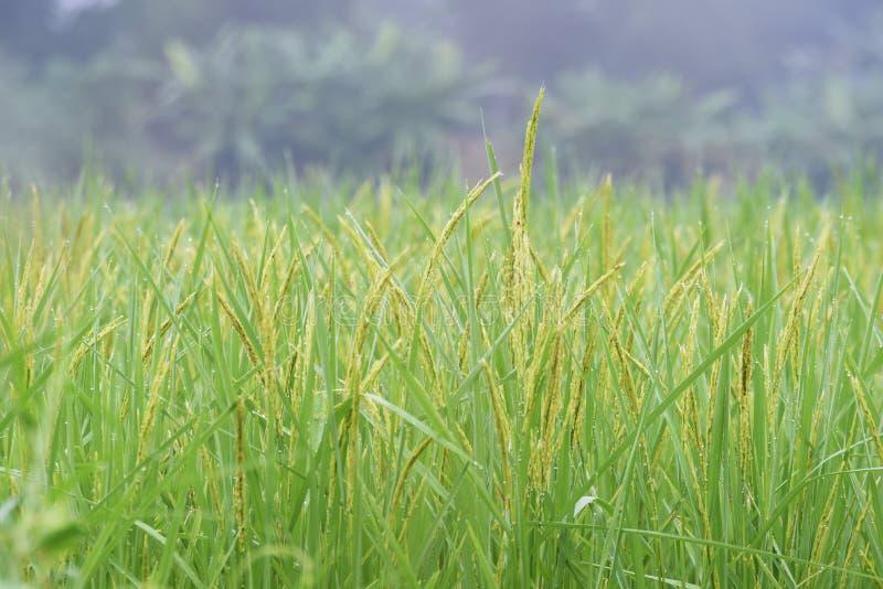 Ascendente fechado a orelha do arroz em um campo fotografia de stock royalty free