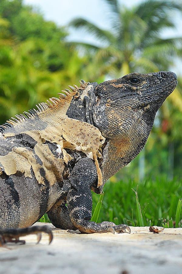 Ascendente próximo da iguana imagem de stock royalty free