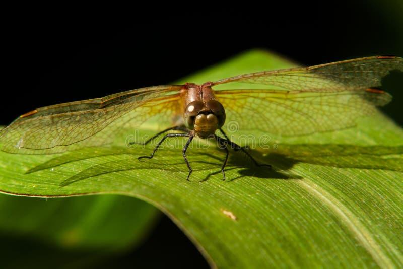 Ascendente próximo da libélula imagem de stock