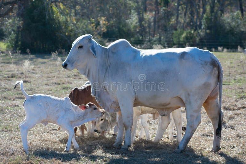 Ascendente próximo da vaca e da vitela de Brahma imagens de stock royalty free