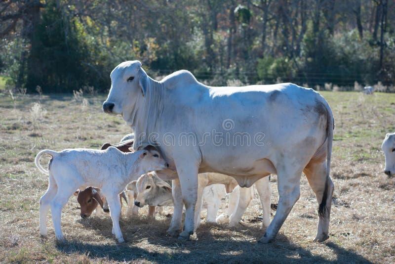Ascendente próximo da vaca e da vitela de Brahma foto de stock royalty free