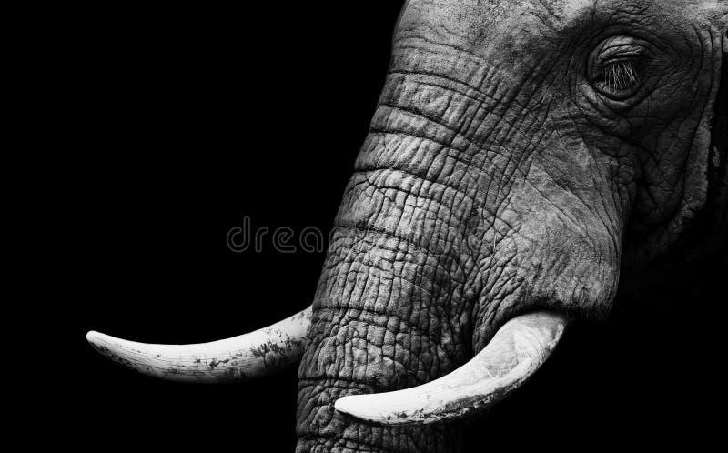 Ascendente próximo do elefante imagens de stock royalty free