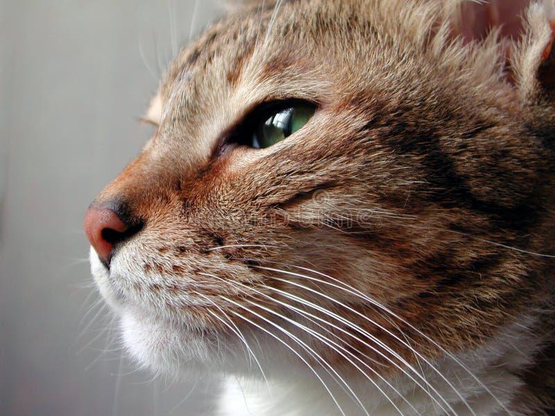 Ascendente próximo do gato fotografia de stock royalty free