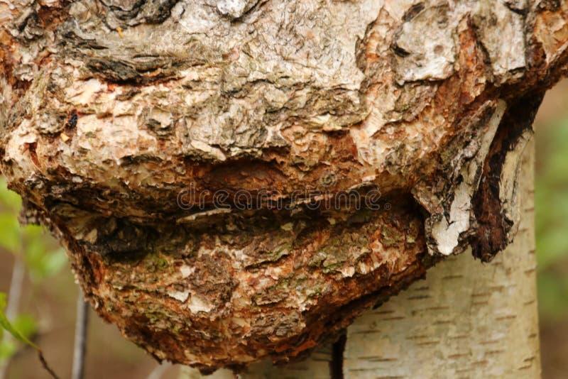 Ascesso su un gambo di un albero di betulla fotografia stock