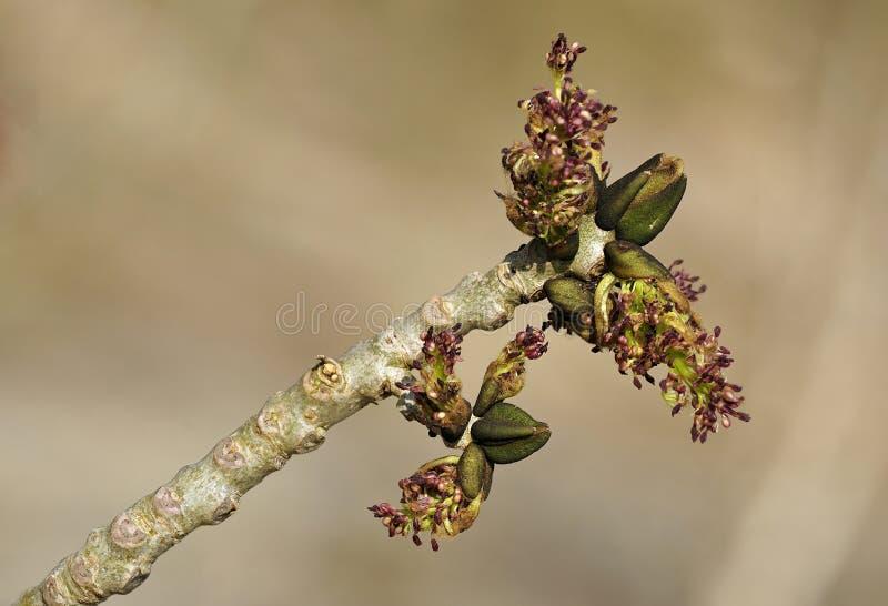 Aschen-Baum-Blumen stockfotografie