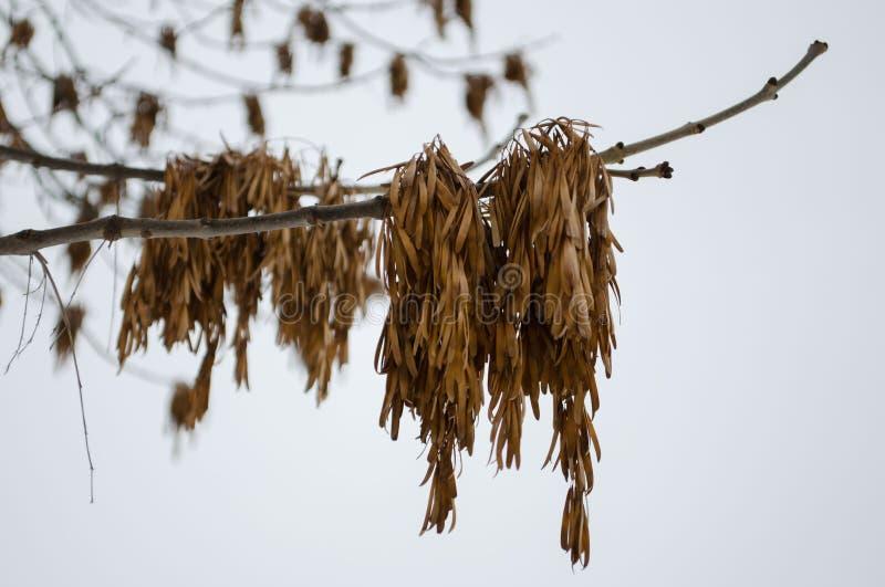 Aschsamenhülsen auf einer Niederlassung gegen den Himmel stockbilder
