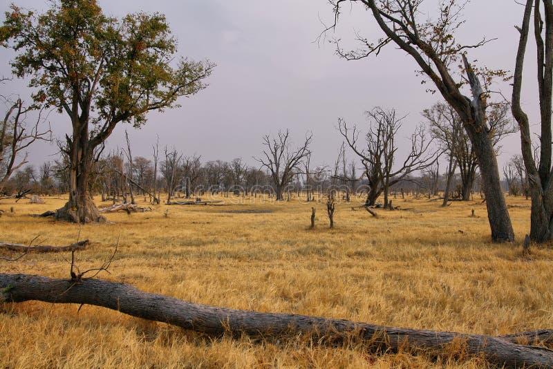 Asciughi il paesaggio sull'inverno nella riserva di caccia di Moremi fotografia stock