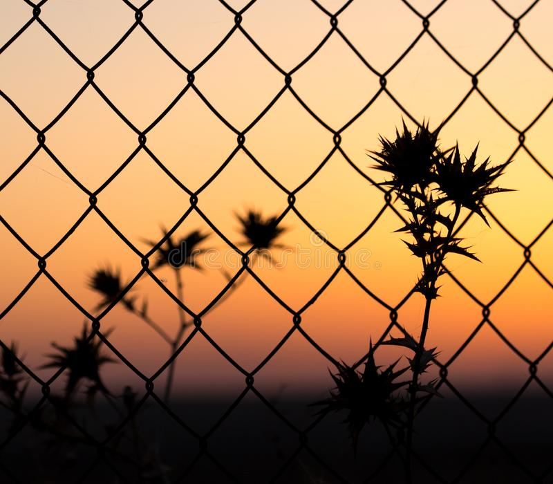 Asciughi l'erba spinosa dietro un recinto al tramonto fotografie stock