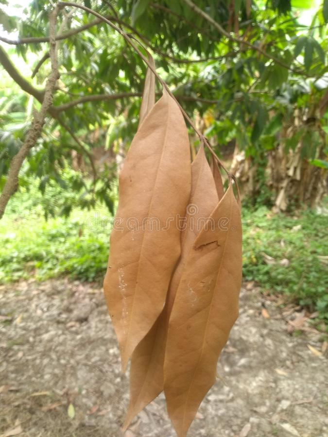 Asciughi le foglie fotografie stock libere da diritti
