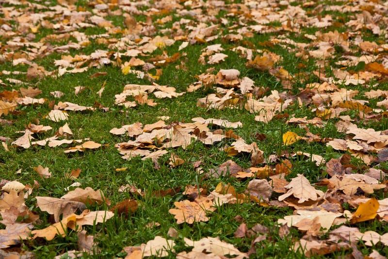 Asciughi le foglie su un lown fotografie stock