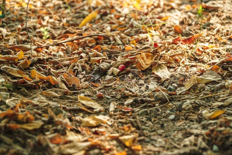 Asciughi le foglie sul pavimento Foglie marroni, della quercia e del faggio vecchie, nel fondo fotografia stock