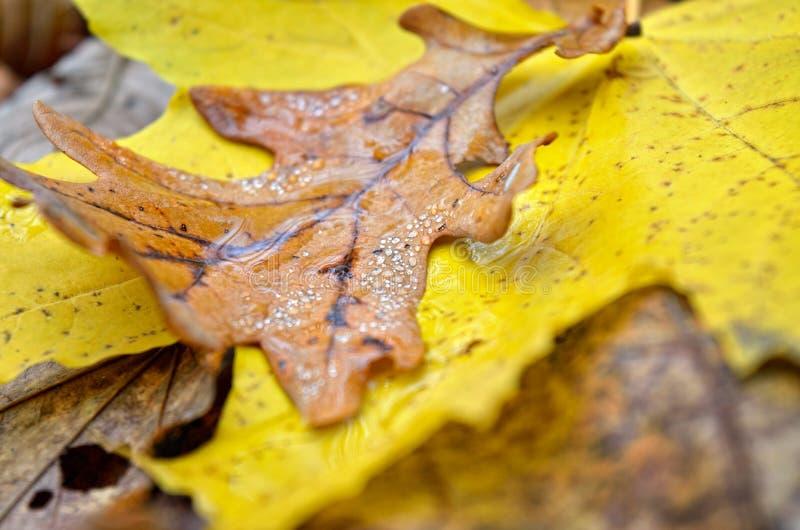 Asciughi, una foglia caduta della quercia nelle gocce di rugiada Piante di autunno nella foresta fotografia stock libera da diritti